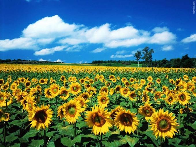 99f5f3175f36af Hi,China Travel-Million Sunflower Garden of Guangzhou
