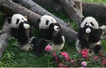 Hi,China Cute pandas in Chengdu banner