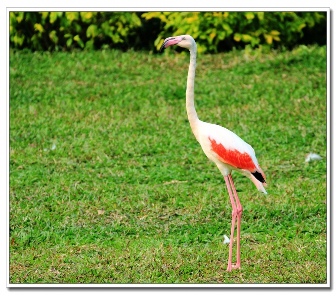 Flamingos in the Guangzhou Chimelong Safari Park